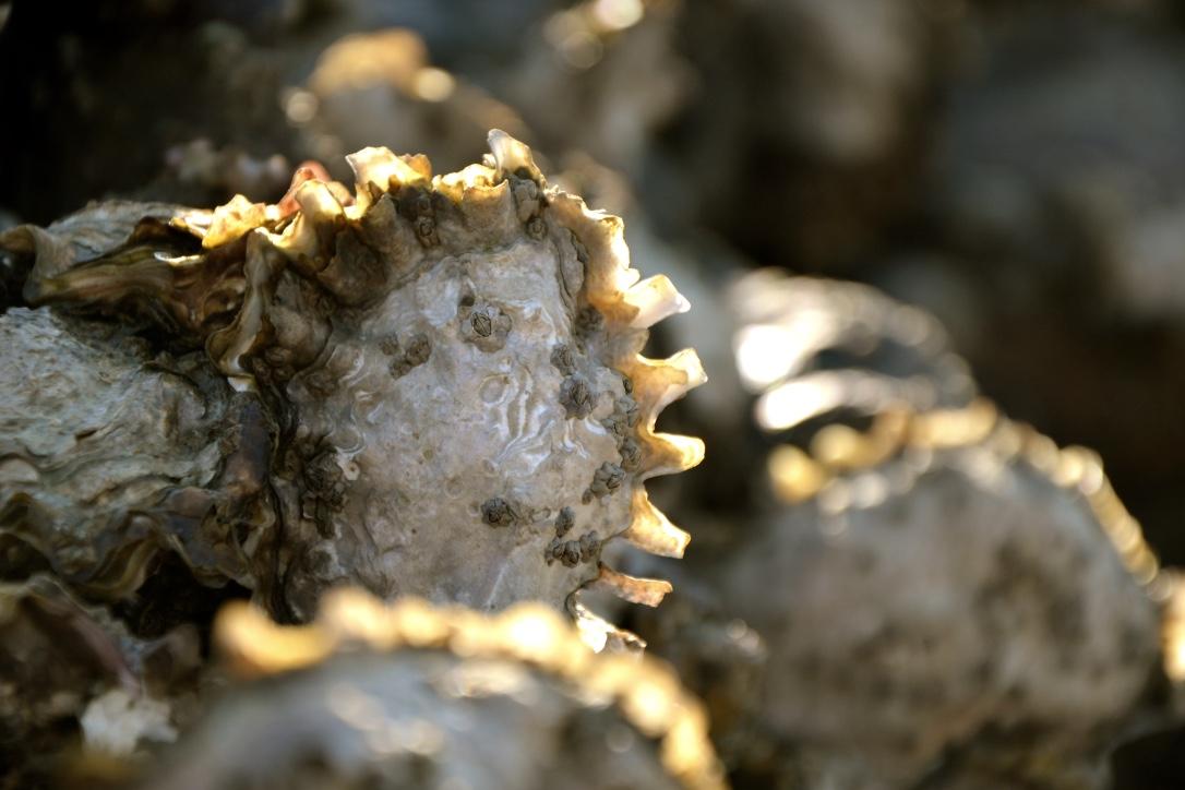 Huîtres plates et creuses, moules